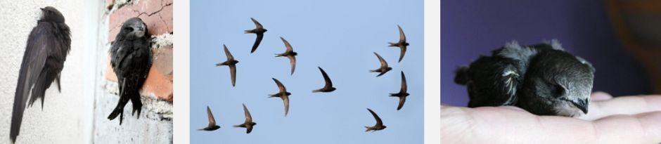 Na zdjęciu ptaki jerzyki. siedzące na oknach kamienicy, latające w grupie kilkunastu jerzyków. piękne. Skrzydła długie, wąskie, o sierpowatym kształcie, ogon nieznacznie rozwidlony. Upierzenie czarno-brązowe; na gardle można dostrzec rozmytą białawą plamę.